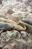 Sleepy Sea-Lions Stock Image