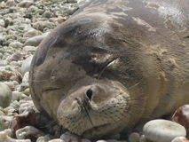 Sleepy Seal Stock Image