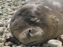 Sleepy Seal stock image