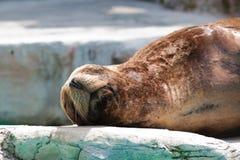 Sleepy seal  Royalty Free Stock Photography