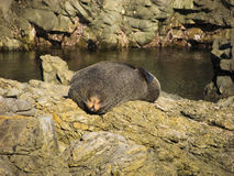 Sleepy seal Stock Photography
