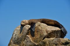 Sleepy seal on a rock. stock images