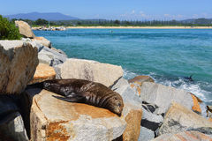 Sleepy seal on rocks at Narooma Royalty Free Stock Images