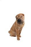 Sleepy sharpei dog Royalty Free Stock Photo