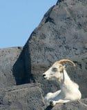 Sleepy Sheep. A Dall's Sheep asleep on a rock Stock Photo