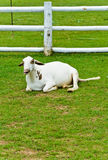 Sleepy sheep Royalty Free Stock Photography