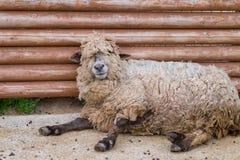 Sleepy Sheep Royalty Free Stock Image