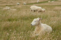 sleepy sheep in grassfield Royalty Free Stock Images