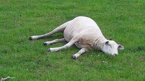 Sleepy Sheep. Shawn Sheep sleeping in farm field Royalty Free Stock Images
