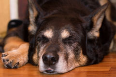 Sleepy shepherd dog Stock Image