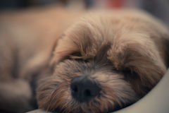 Sleepy Shih Tzu dog. Close up of sleepy Shih Tzu dog royalty free stock photo