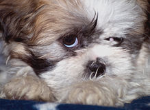 Sleepy shih-tzu lapso puppy. Shih-tzu lapso puppy -two months old looking annoyed and tired Stock Photo