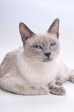 Sleepy Siamese Cat Stock Photo