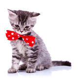 Sleepy silver tabby baby cat. Wearing a big red neck bow on white background Royalty Free Stock Images