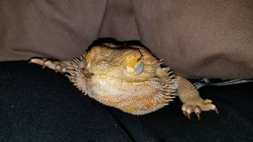 Sleepy Bearded Dragon royalty free stock images