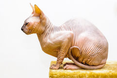 Sleepy Sphynx cat portrait pet shop stand isolated Stock Photo