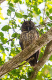 A sleepy Stygian Owl Stock Photography