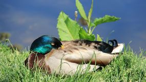 Sleepy And Sunbathing One Male Mallard. One male wild duck relaxation and sunbathing  on green grass during springtime in Europe. freedom and easy way of life Royalty Free Stock Photography