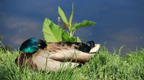 Sleepy. Sunbathing And Repose One Male Mallard Easy Way Of Living. One male wild duck relaxation and sunbathing on green grass during springtime in Europe stock image