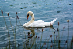 Sleepy swan floating in summer lake Stock Photography