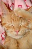 Sleepy Sweet Kitten Stock Image