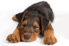 Sleepy terrier royalty free stock photos