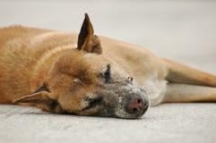 Sleepy Thai dog laying on a ground. Sleepy Thai dog laying on a stone ground closing eyes Royalty Free Stock Photo