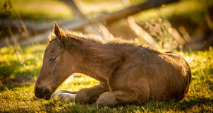 Sleepy thoroughbred foal. A newborn thoroughbred foal sleeping in the morning sun stock photography