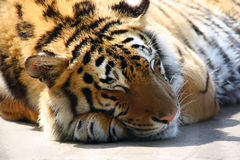 Sleepy tiger Royalty Free Stock Photo