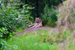 Sleepy Tiger stock image