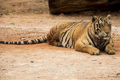 Sleepy Tiger Stock Images