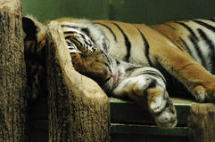 Sleepy tiger Royalty Free Stock Photo
