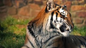Sleepy Tiger In Sun Yawns And Leaves stock video footage