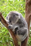 Sleepy time koala Royalty Free Stock Image