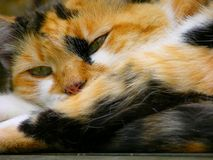 Sleepy tortoiseshell cat Royalty Free Stock Image