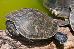 Sleepy Turtle Stock Images