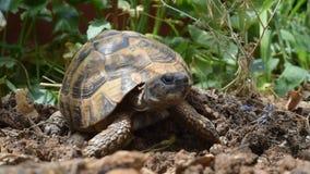 Sleepy turtle. Turtle in the grass yawning  - Hermann`s tortoise stock video