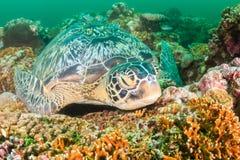 Sleepy Turtle Royalty Free Stock Image