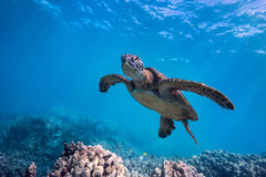 Sleepy Turtle. A sleepy looking green sea turtle Stock Images