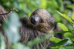 Sleepy two-toed sloth in green tree canopy. A relaxed sleepy Linnaeus`s two-toed sloth Choloepus didactylus hanging and sleeping in tree canopy. Dubai, UAE Stock Image