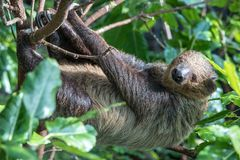 Sleepy two-toed sloth in green tree canopy. A relaxed sleepy Linnaeus`s two-toed sloth Choloepus didactylus hanging in tree canopy. Dubai, UAE Royalty Free Stock Image