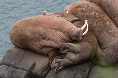 Sleepy Walrus. Pacific walrus resting on the rocks, at Round Island State game sanctuary in Alaska Royalty Free Stock Photo