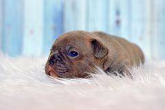 Sleepy 4 weeks old rare color lilac French Bulldog dog puppy with blue eyes lying on white fur blanket stock photography