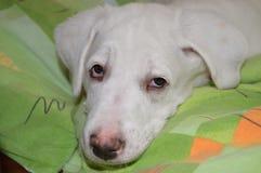 Sleepy White beautiful dog Royalty Free Stock Image