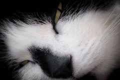 Sleepy White and Black Cat's Face Royalty Free Stock Images