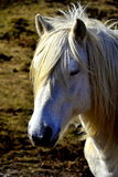 Sleepy white horse. White horse listening to the whistle Stock Photo