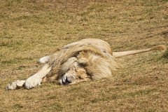 Sleepy white lion. A male white African lion sleeping on the ground Stock Photography