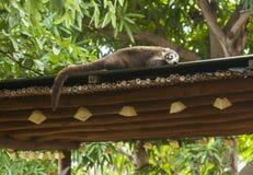 Sleepy White Nosed Coati Royalty Free Stock Images