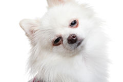 Sleepy white pomeranian dog Royalty Free Stock Photos