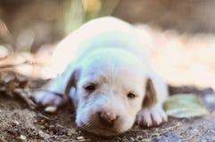 SLEEPY WHITE PUPPY Stock Image